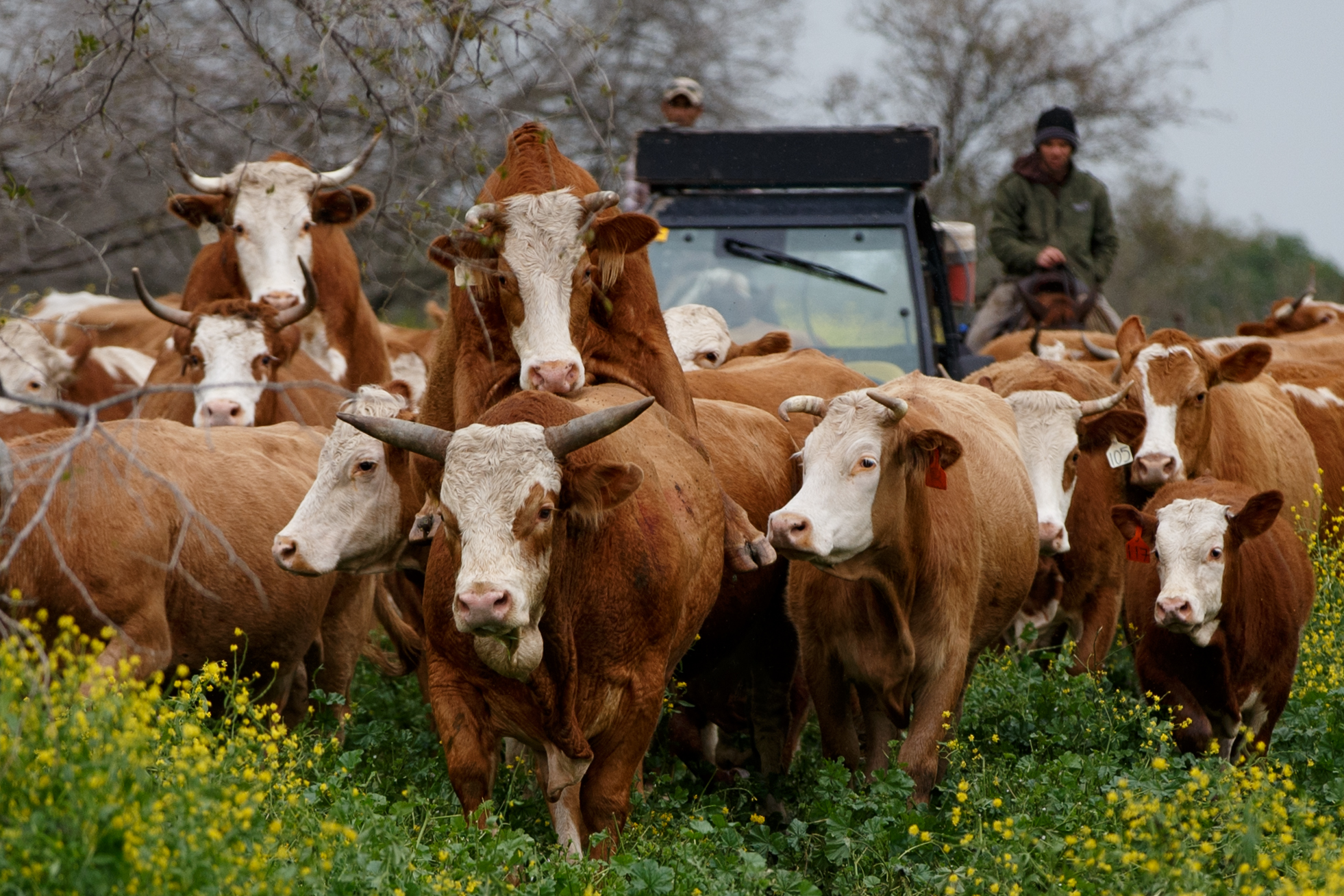 גזעי בקר בישראל